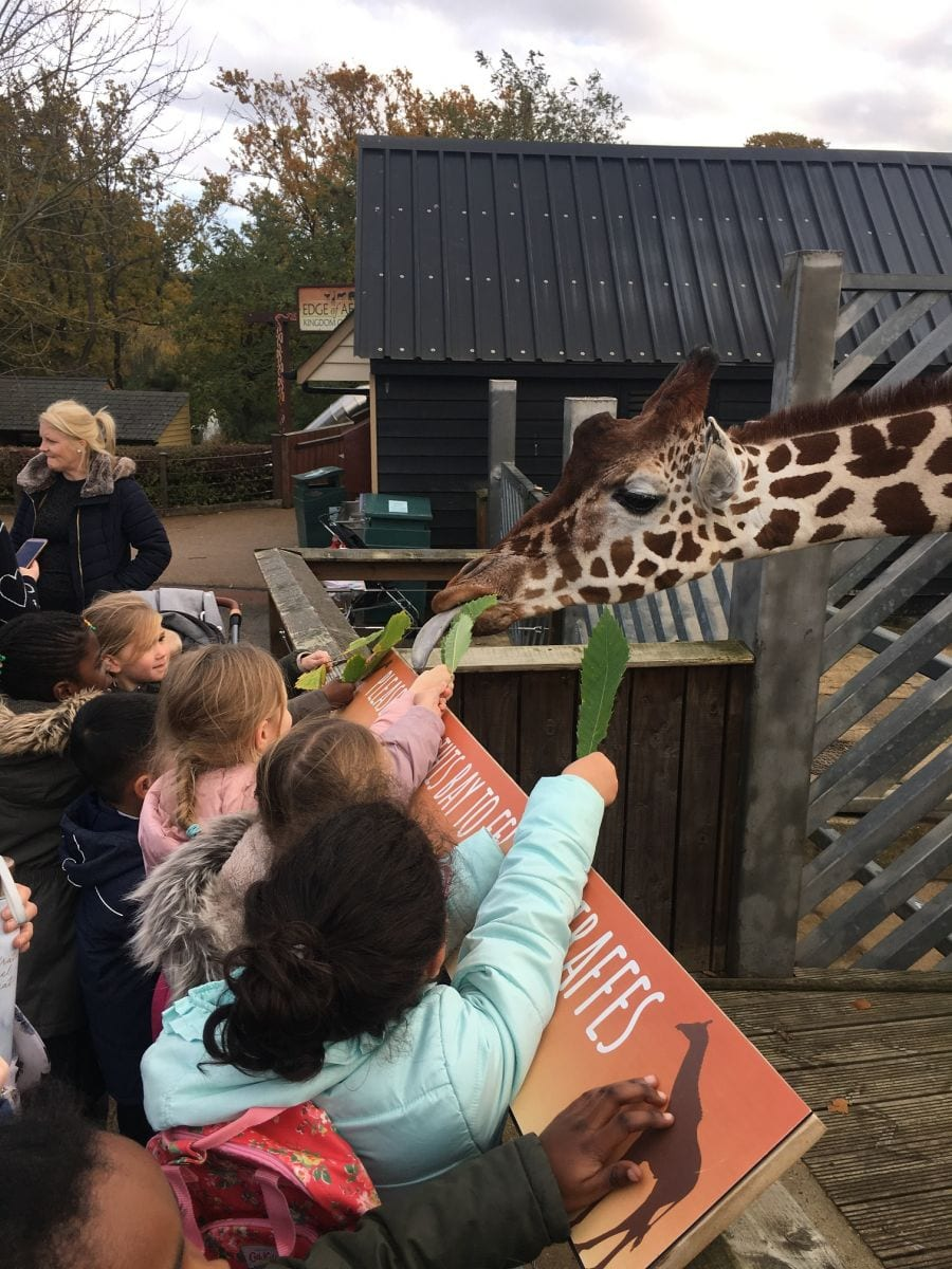 Harlow Primary Students feed giraffes at Colchester Zoo